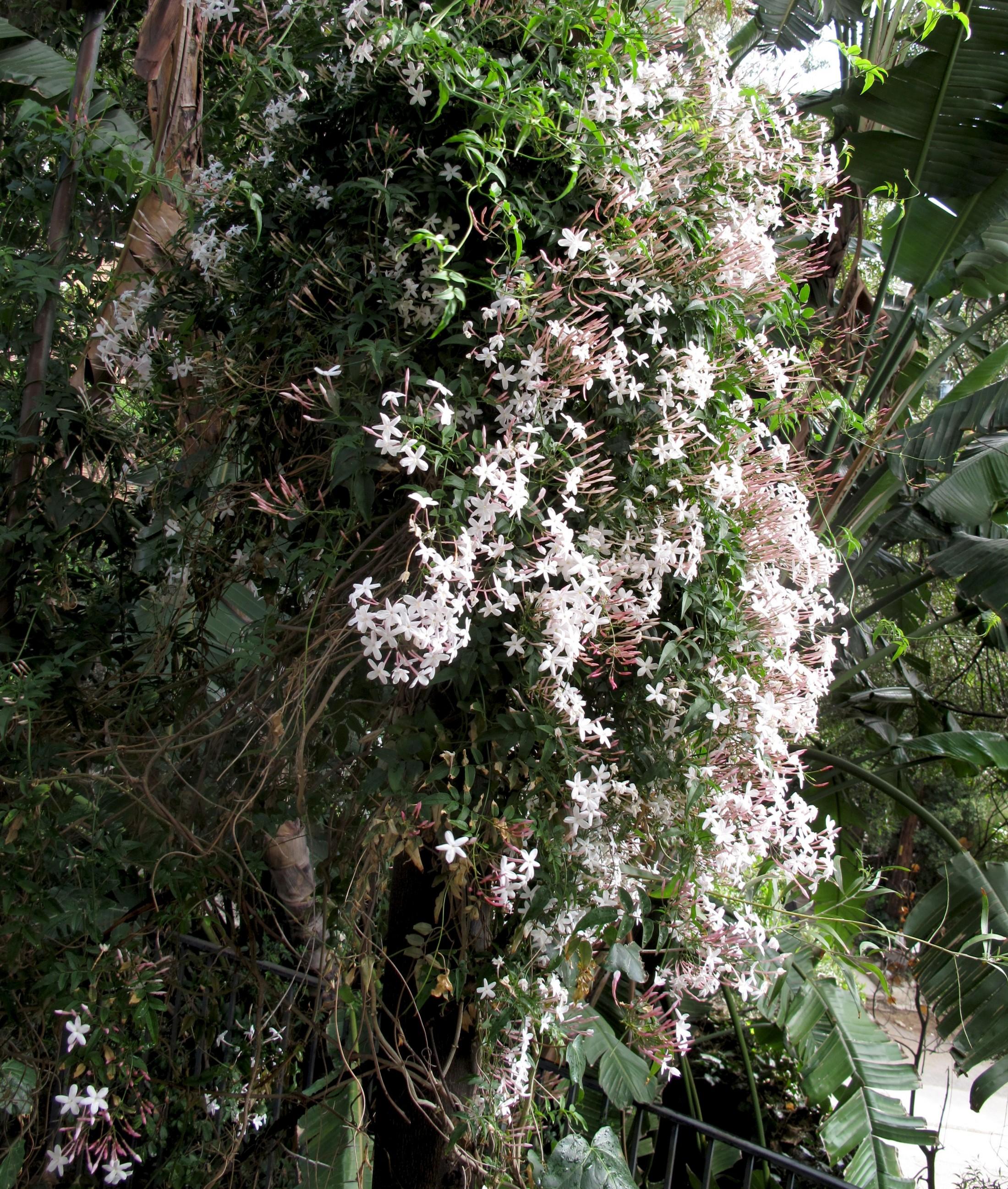 blooming jasmine1 e1334551219577 Vegan California Roll
